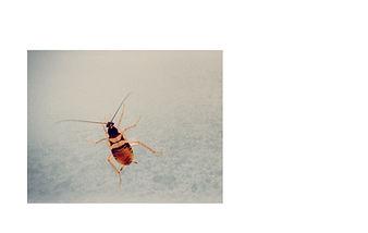 shutterstock brown-banded cockroach.jpg