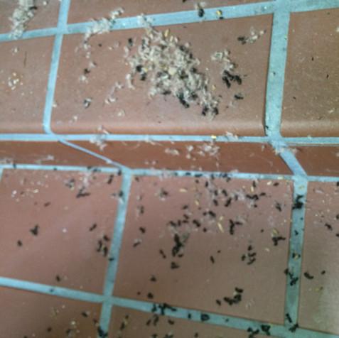 Carpenter Ants in Mississauga solarium