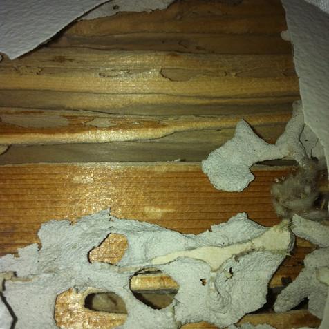 Carpenter ant destruction !