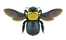 shutterstock carpenter bee.jpg