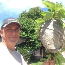 Bald-faced Hornets nest in Markham.