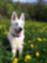 Weisser Schäferhund, Holly