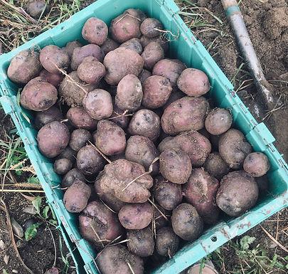 Local Spotlights: Living Acre's Potatoes