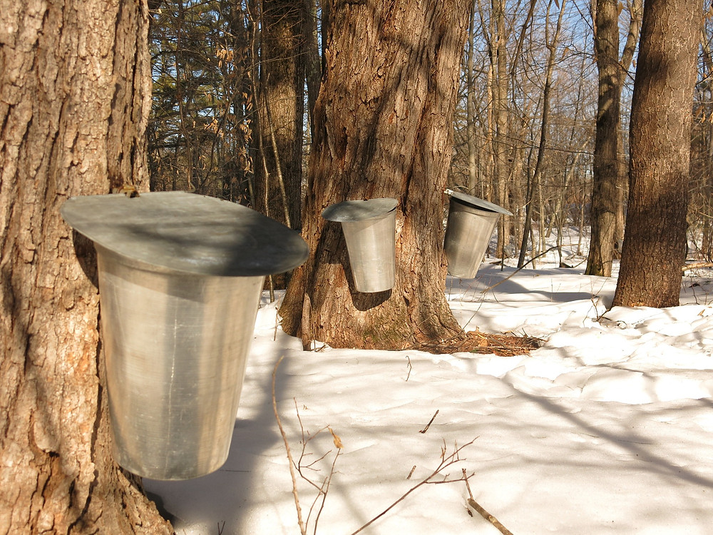 tapping maple syrup