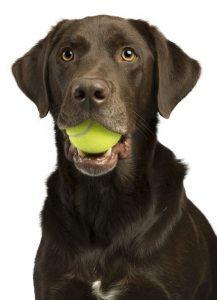 dogwithtennisball-217x300.jpg