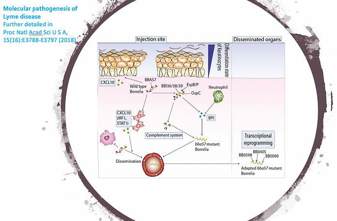 Molecular pathogenesis of Lyme disease.j