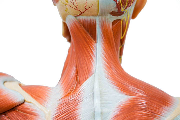 Human neck muscle anatomy for the educat