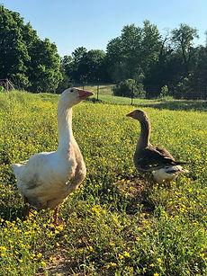 new geese five.jpg