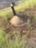 nesting goose.jpg