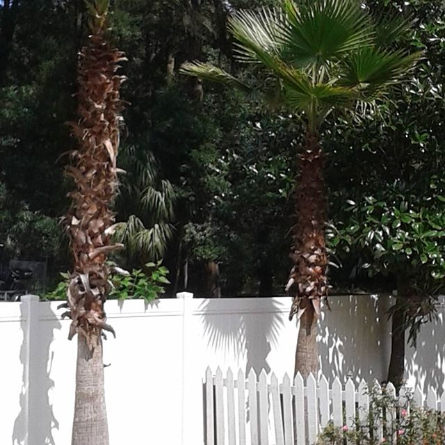 Palm trees trimming in DeLand