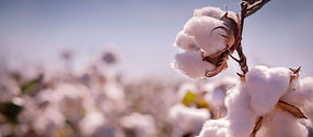 culture-du-coton-impact-environnement_6b