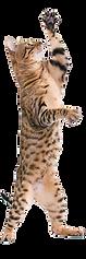 kisspng-toyger-bengal-cat-california-spangled-sokoke-kitte-cat-standing-5b36240606e570.958