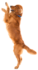dogs-transparent-background-14.png