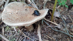 amanite panthère et scarabée