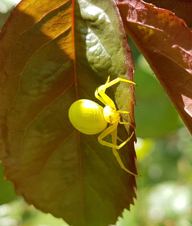 araignee jaune jardin