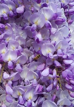 abeille glycine 2