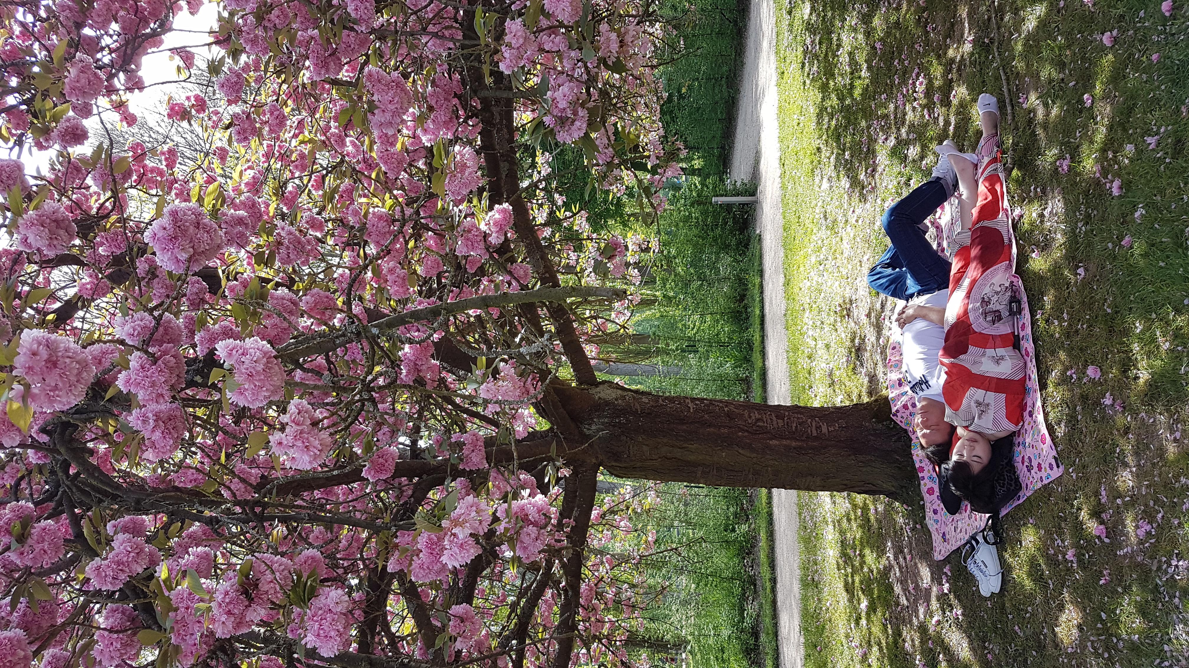 floraison cerisiers Sceaux 2019 2