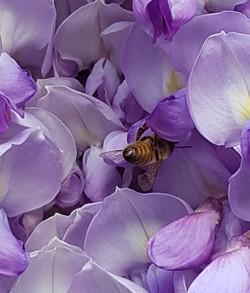 abeille glycine 1