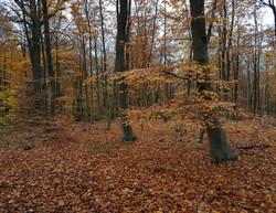 foret Fourqueux automne
