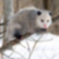 Opossum_2.jpg