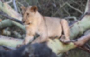 Lion%2520Gorongosa_edited_edited.jpg