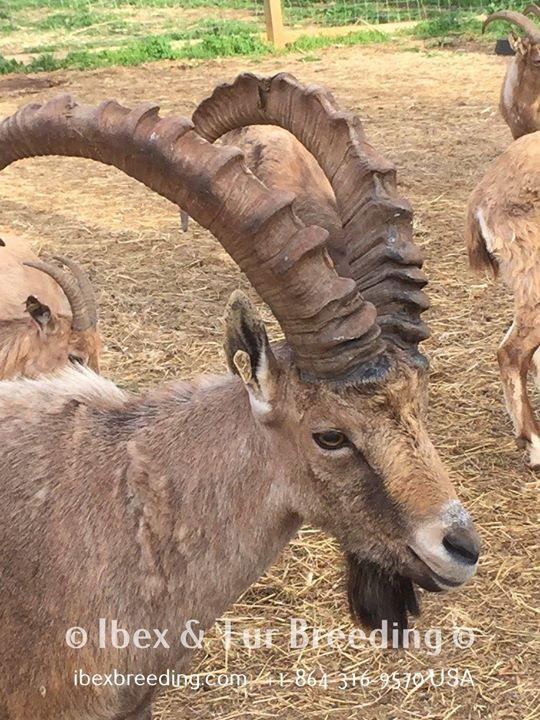 2 Nubian Ibex)