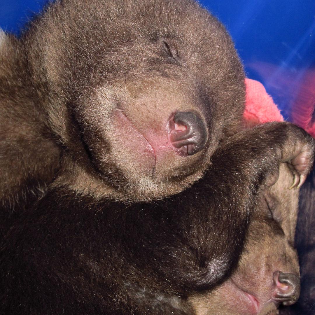 12 Bear Cubs at 7 weeks (1).JPG