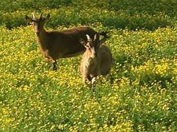 16 Ibex females in flowers
