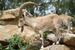 Nubian Male 5 yrs old