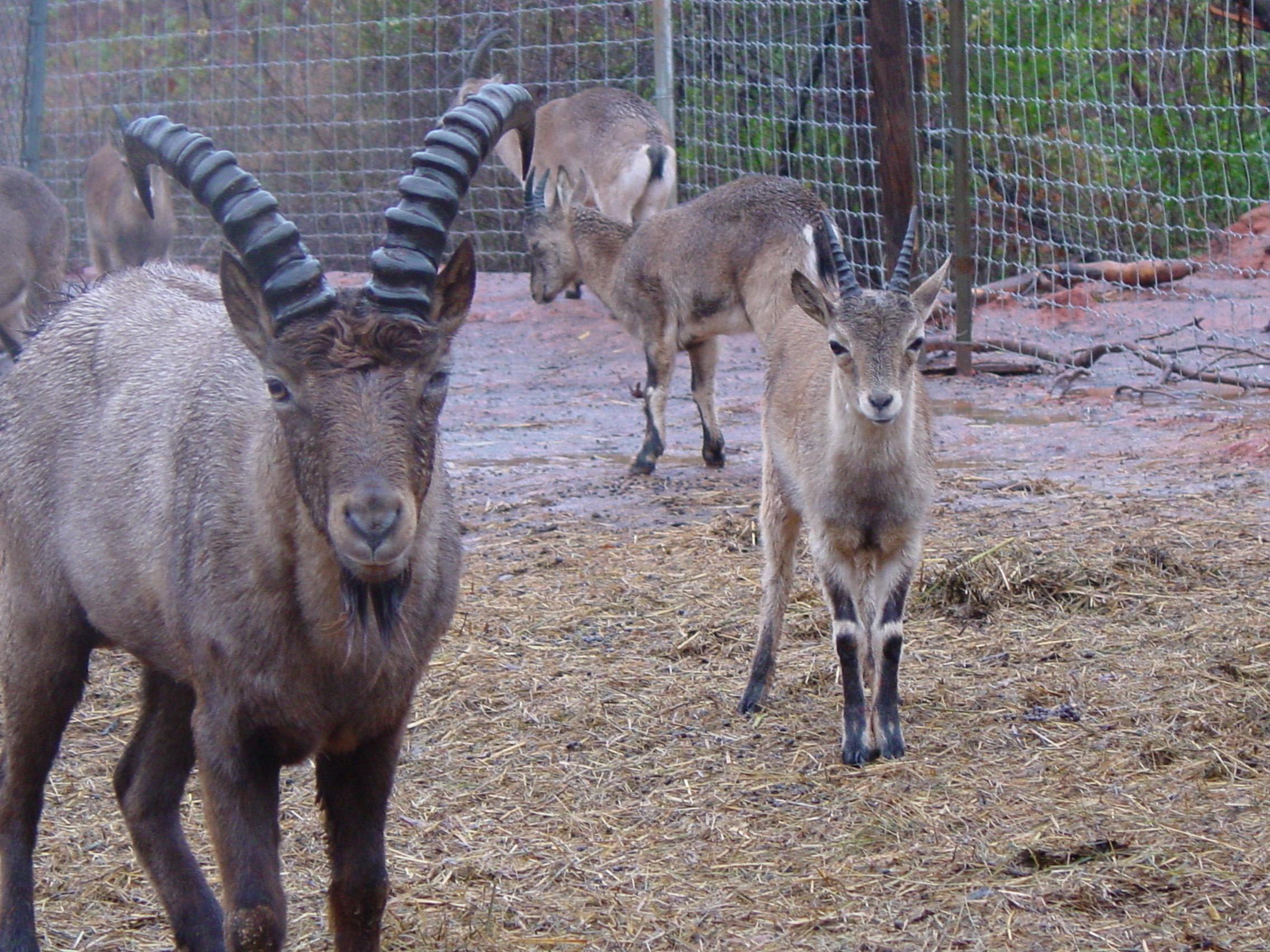Pics of Turs and Ibex 11-30-10 002