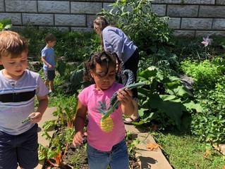 Kindergarten- Harvesting the garden