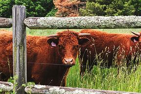cows in tall grass.jpg