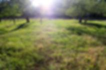 orchard grass.JPG