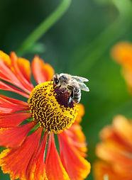 flower bee.jpg