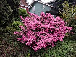 rose azalea.jpg