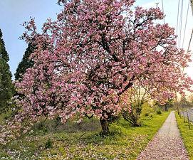 Saucer Magnolia.jpg