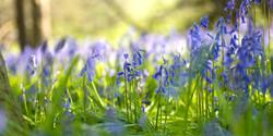 Bluebells in the Glebe