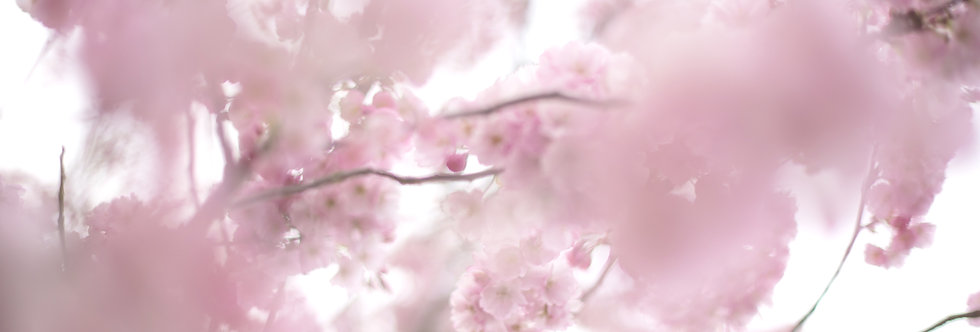 Soft Cherry Blossoms