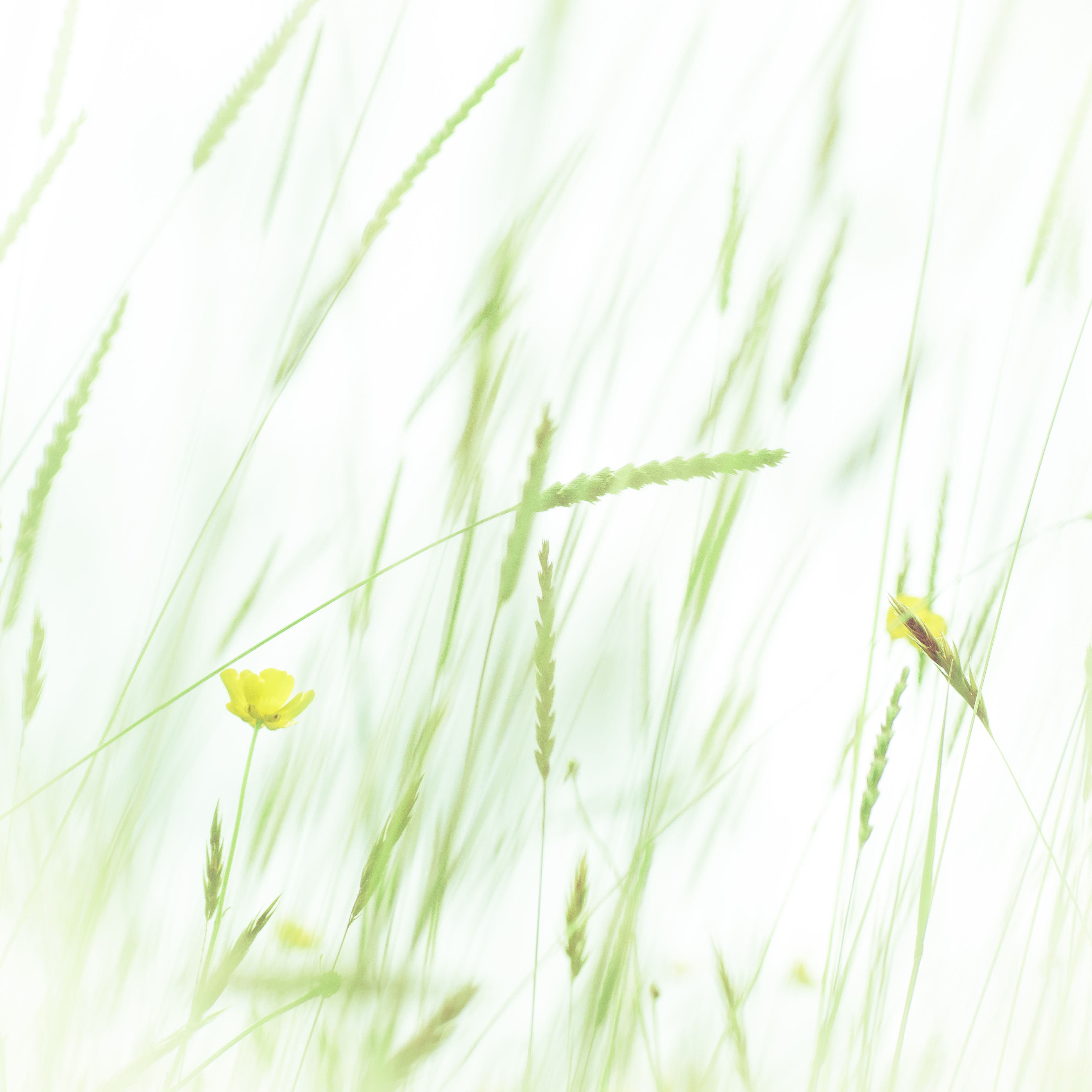 Soft Meadow Grass