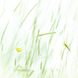 Soft Meadow Grass