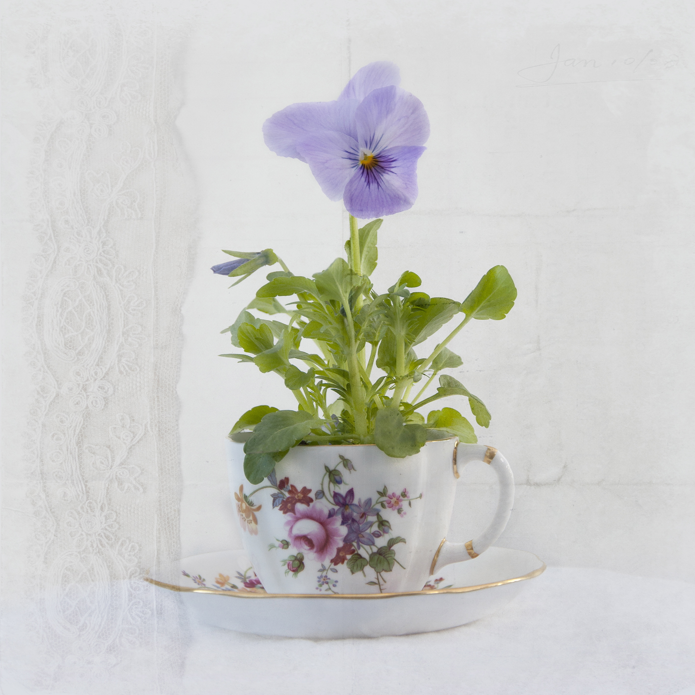 Purple Pansy in Victorias teacup
