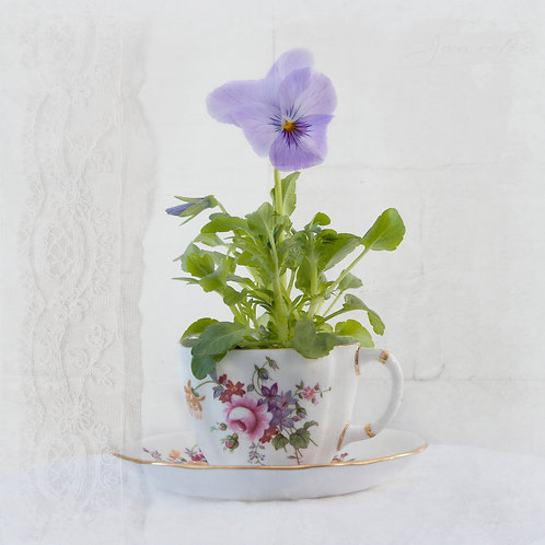 Purple Pansy in Victoria's Teacup