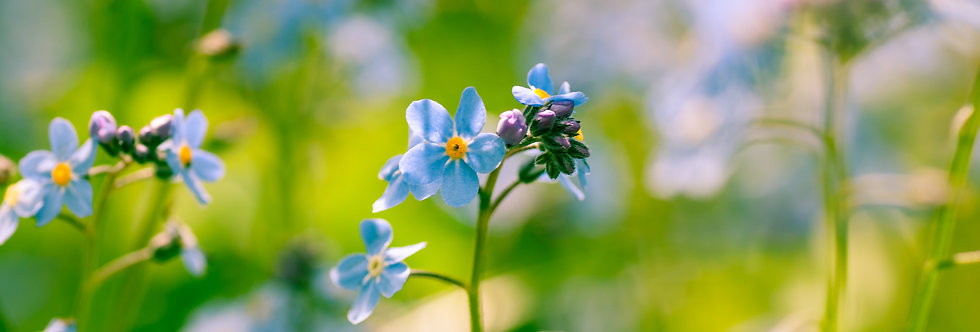 Dreamy Forget me nots