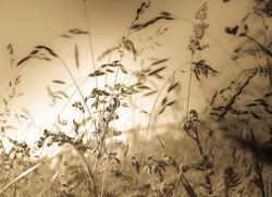 Evening Sunlit Grasses