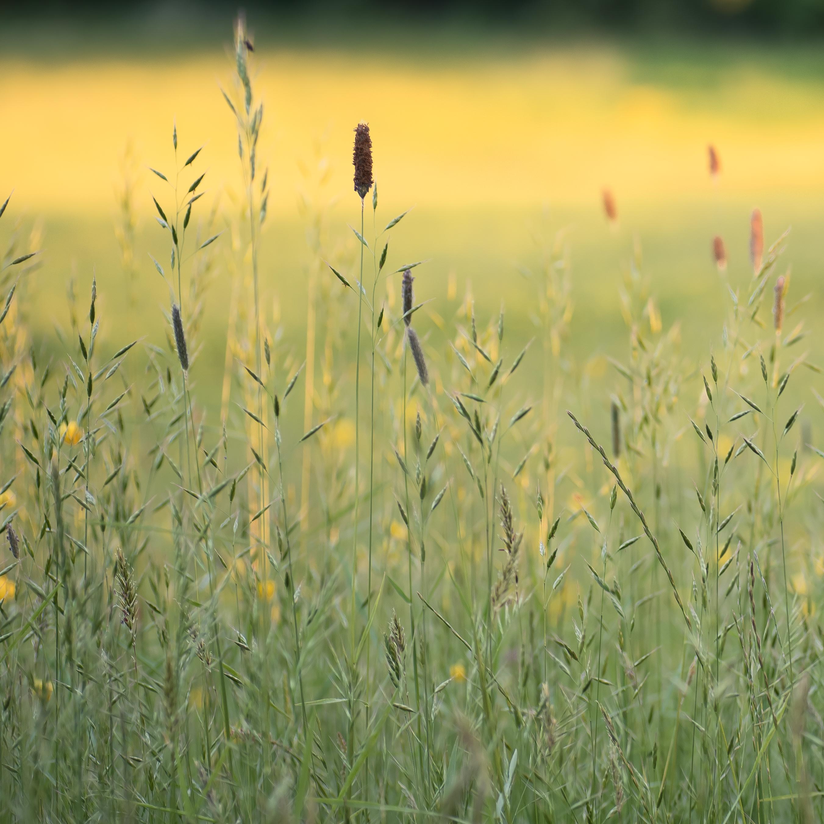 Grasses Summer