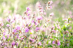 Layered Sunlit Red Campion