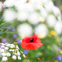 Cow Parsley and Corn Poppy
