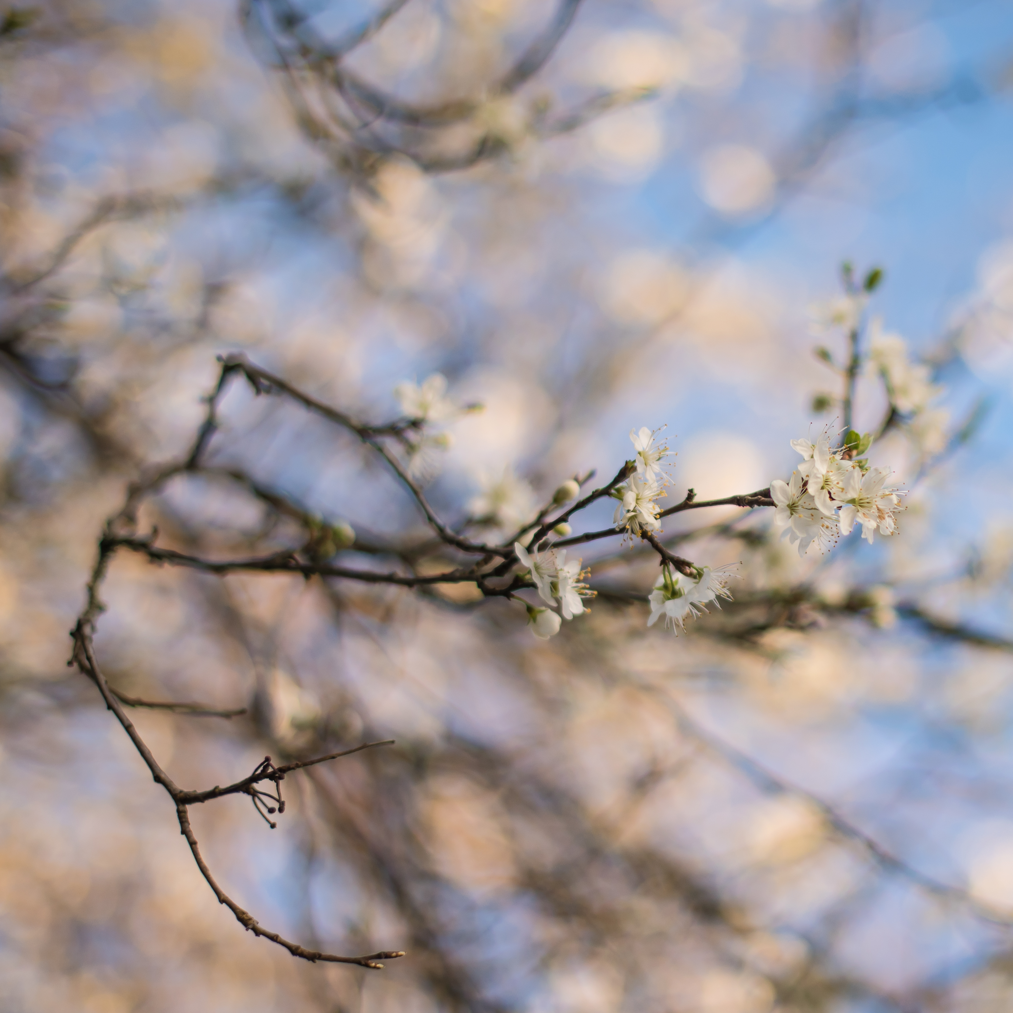 Damson Blossom Square