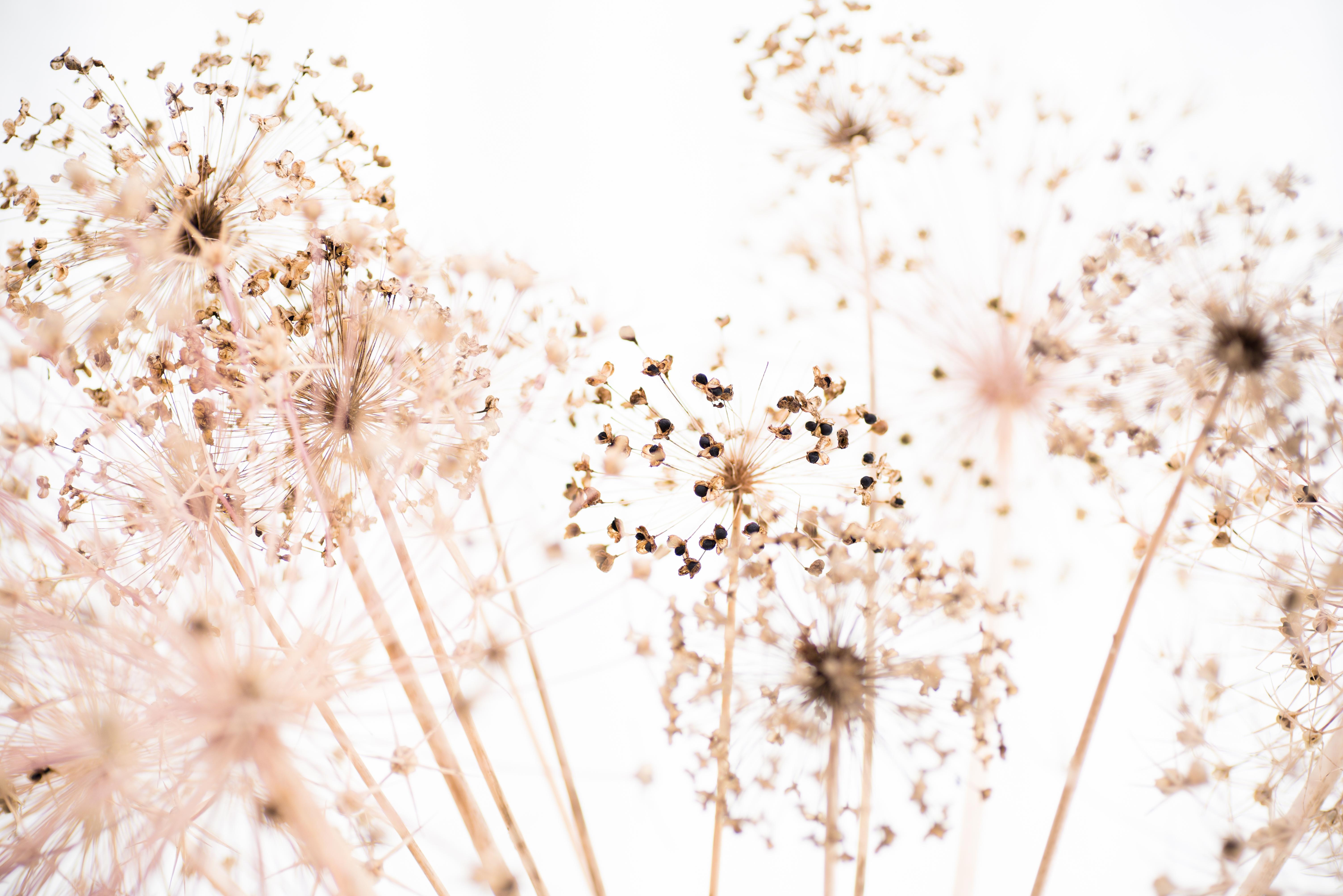 Allium Layered Stars