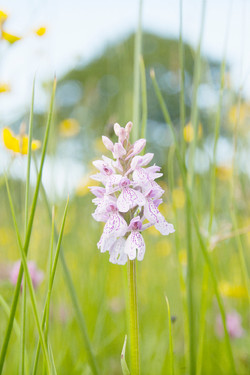 Soft Ash Meadow and Orchid
